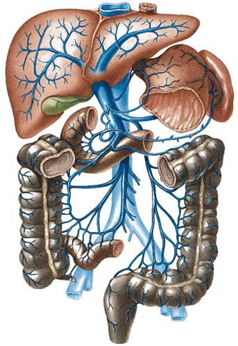 胃静脉解剖结构图片